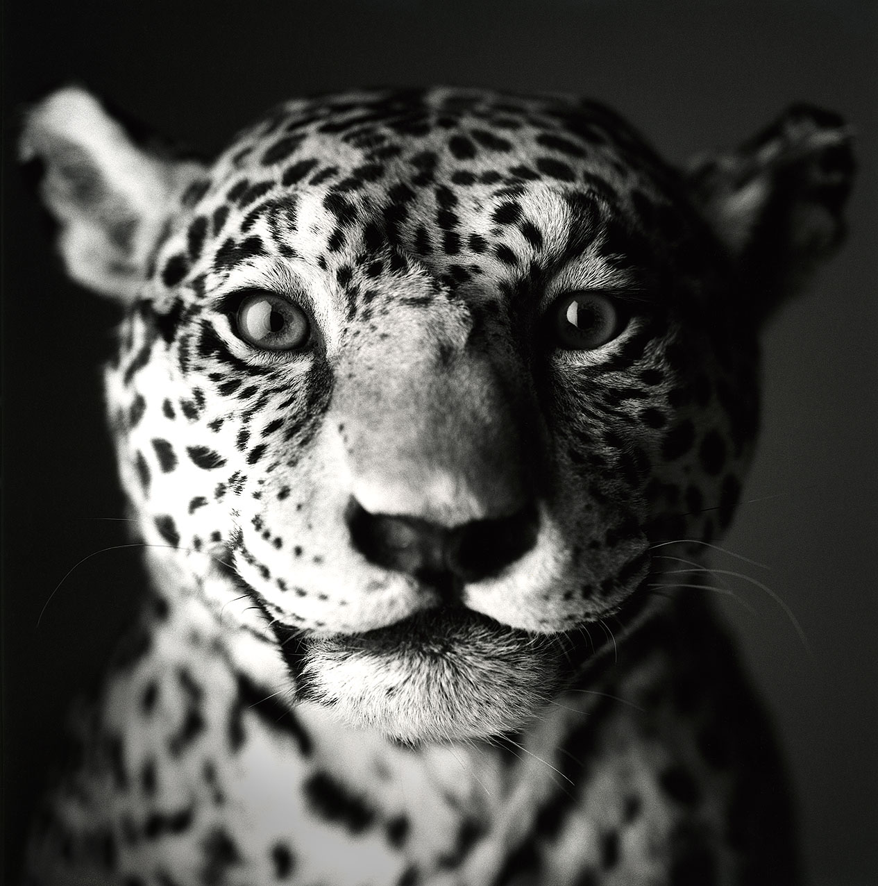 Jaguar-Portrait sharp0.3 1276px 08
